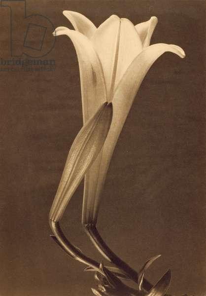 Platinum Print of Lily by Tina Modotti, 1925 (platinum print)