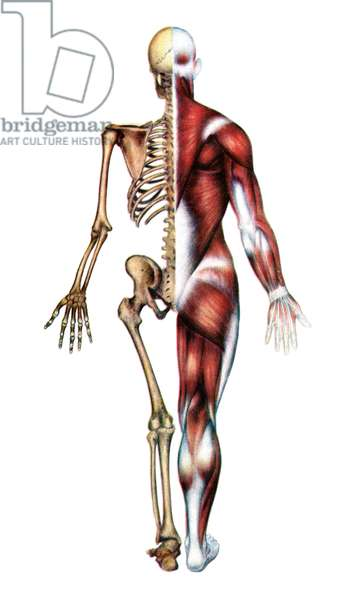 Anatomical Print of the Human Skeleton and Muscles, 1935 (screen print)