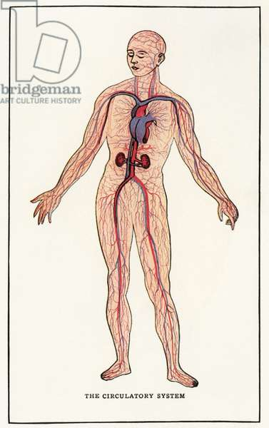 Vintage Anatomical Print of the Human Circulatory System , 1912 (screen print)