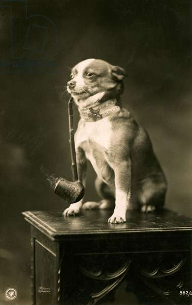 Chihuahua Smoking a Pipe, 1912 (toned silver print)