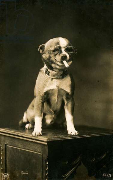 Chihuahua in Eyeglasses Smoking a Cigarette, 1912 (toned silver print)