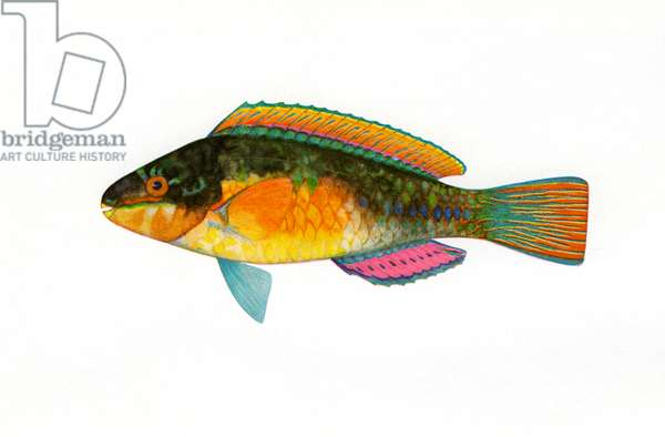 Vintage Print of a Bullethead Parrotfish, 1922 (screen print)