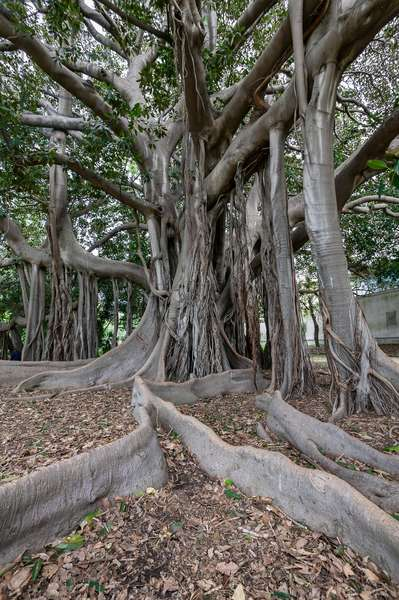 Ficus magnolioide, The Botanical Gardens, Palermo, Sicily, Italy (photo)