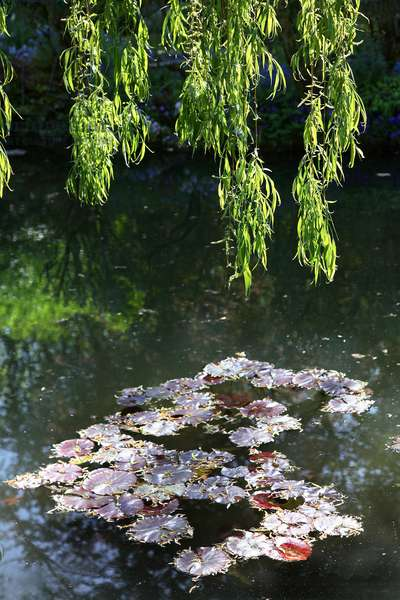 Eure (department 27) - Giverny - Le jardin d'eau de Claude Monet - les nympheas