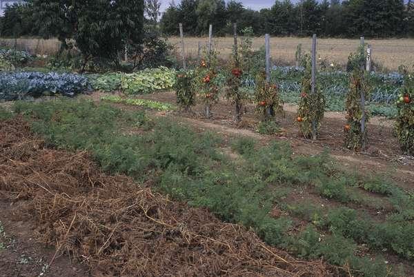 Vegetable garden/Fern mulch