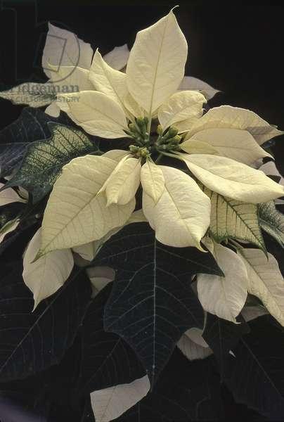 Euphorbia pulcherrima/Euphorbia poinsettia