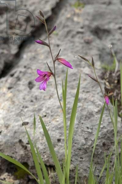 Gladiolus italicus/Italian glaieul/Harvest glaieul/Corn Gladiolus