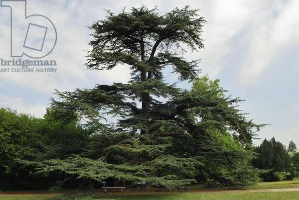 Cedre de Marengo/Cedre du Liban/Cedrus liabani/208 years old/Plant by Napoleon and Josephine de Beauharnais/La Malmaison/Rueil Malmaison/Hauts de Seine/Ile de France/France