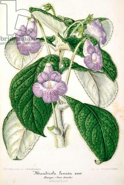 Botanical illustration/Achinenes verticillata/Achimene