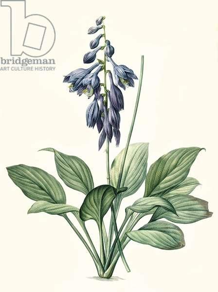 Botanical Illustration/Redoubt/Hosta ventricosa