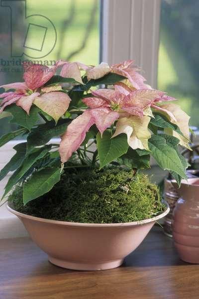 Euphorbia pulcherrima/Euphorbia poinsettia/Christmas Flower
