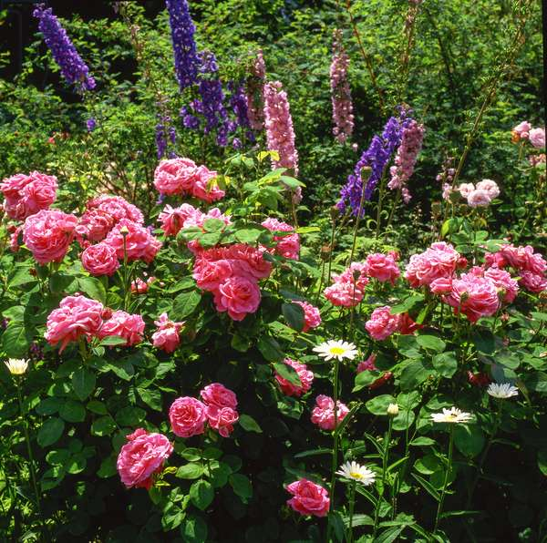 Flower Massif/Rosa x/Rose/Delphinium x/Largetfoot