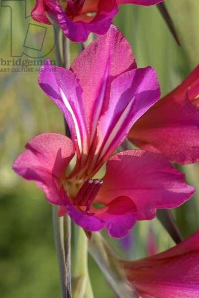 Gladiolus italicus/Harvest Gladiolus