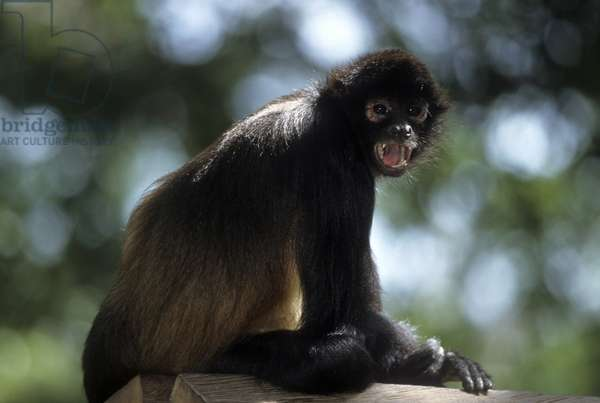 Ateles geoffroyi/Black Hand Atele Monkey/Panama Araignee Monkey/Black Held Spider Monkey