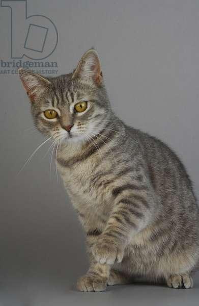 Breed: Manx/Dress: blue Spotted Tabby/Name: Betty Boop de l'Isle de Man - MANDATORY: L'Arche Feline
