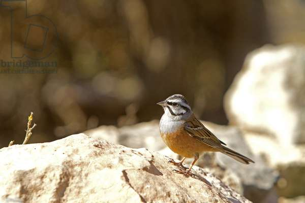 Emberiza cia/Crazy Sparrow/Rock Bunting/Male