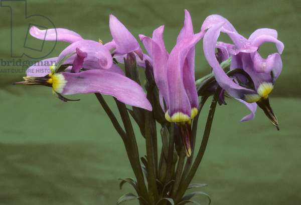 Dodecatheon x/Queen Victoria Gyroselle/Grb with the Twelve Gods/Shooting Star