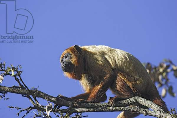 Brown howler monkey/Brown Howler Monkey/Alouatta fusca clamitans
