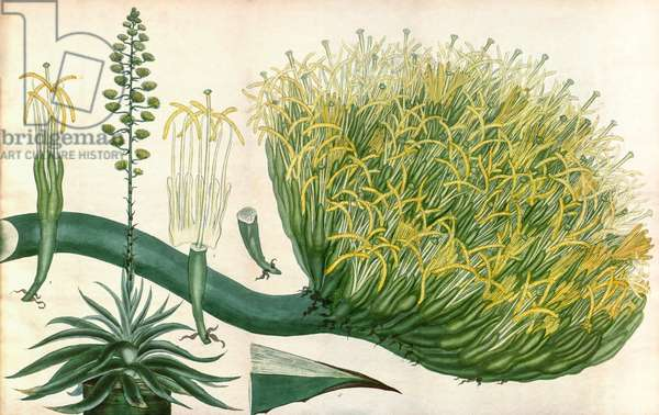 Botanical illustration/Agave americana/Agave americain