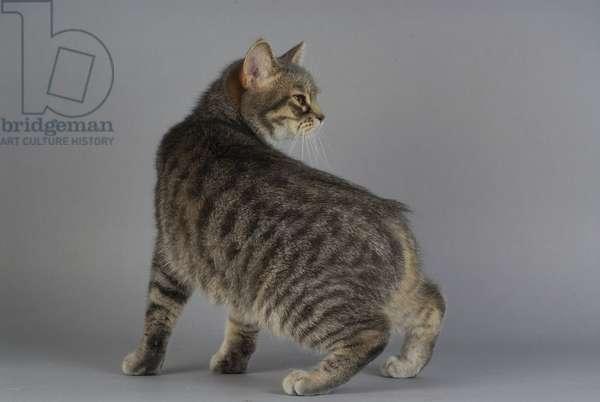 Cat/Breed: Manx/Dress: Blue Spotted Tabby/Name: Betty Boop de l'Isle de Man - MANDATORY MORTATION: L'Arche Feline