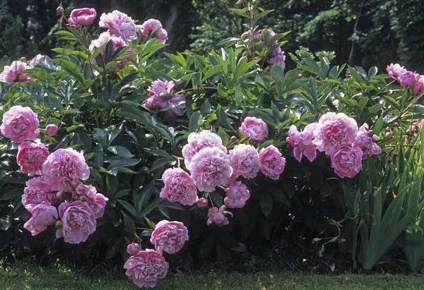 Paeonia lactiflora x/Herbaceous peony 'Doctor Alexander Fleming'/Peony