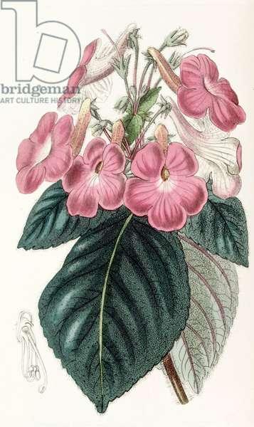 Botanical illustration/Achimenes grandiflora/Achimene has large flowers