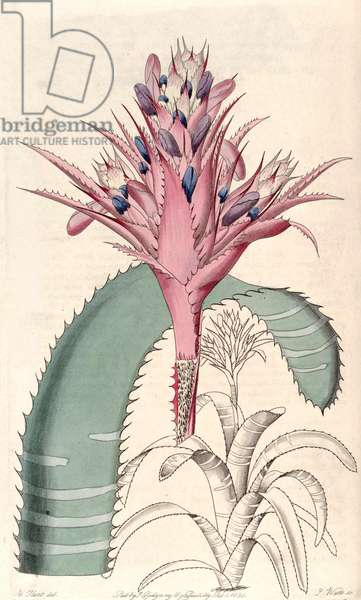 Botanical illustration/Aechmea fasciata, silver vase