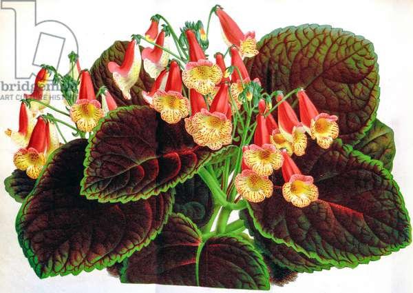 Botanical illustration/Achimenes naegelioides/Achimene