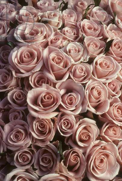 Bouquet of roses/Rosa x/Pink