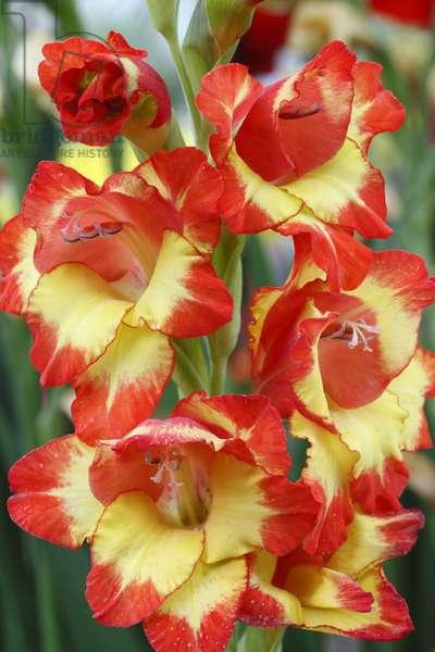 Gladiolus x/Glaieul 'Alana'