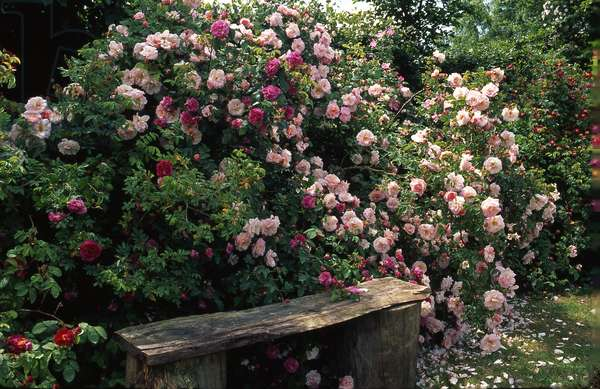 Rose Garden/Rosa x/Rose 'Fritz Nobis'/Rose 'Orpheline of July'