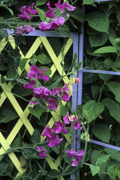 Lathyrus odoratus/Royal Scent Pea/Sweet Pea