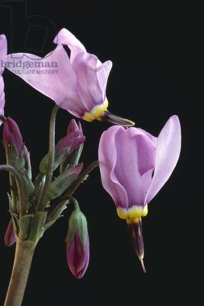 Dodecatheon x/Gyroselle 'Queen Victoria'
