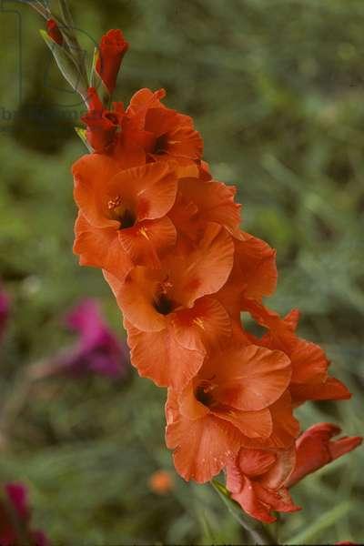 Gladiolus x/Glaieul/Gladioli