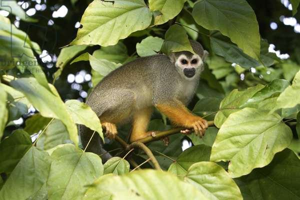 Saimiri sciureus/Saimiri/Squirrel Monkey/Yellow Saphog/Common Squirrel Monkey