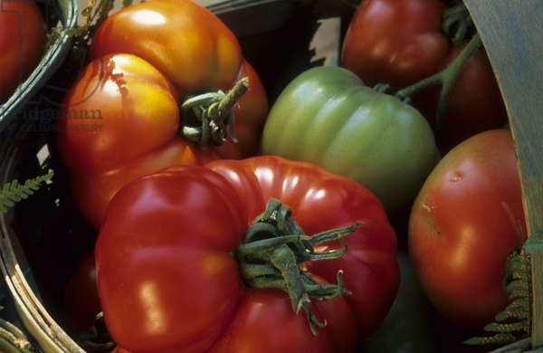 Lycopersicon esculentum/Tomato 'Marmande'/Tomato