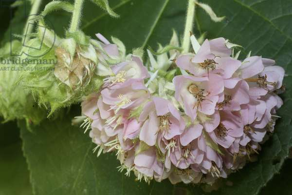 Dombeya wallichii,/Hydrangea Tree/Pink Ball Honey Tree