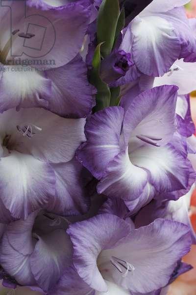 Gladiolus x/Glaieul 'Oberbayern'