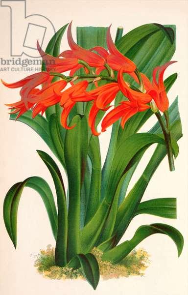 Botanical illustration/Ada aurantiaca