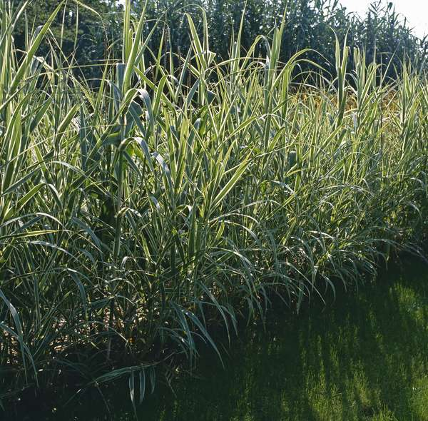 Arundo donax 'Variegata'/Cane de Provence panachee/Giant Reed