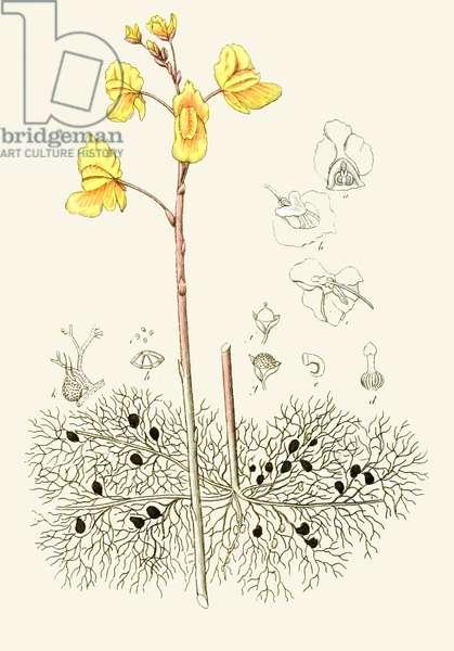 Botanical illustration/Utricularia vulgaris/Common utricular