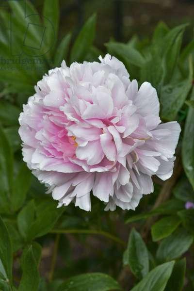 Paeonia lactiflora/Herbaceous peony/Peony 'Sarah Bernhardt'