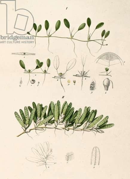 Botanical illustration/Halophila stipulacea