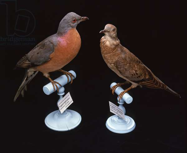 Etopistes migratorius/Pigeon migrateur/Passenger Pigeon/Male and Female