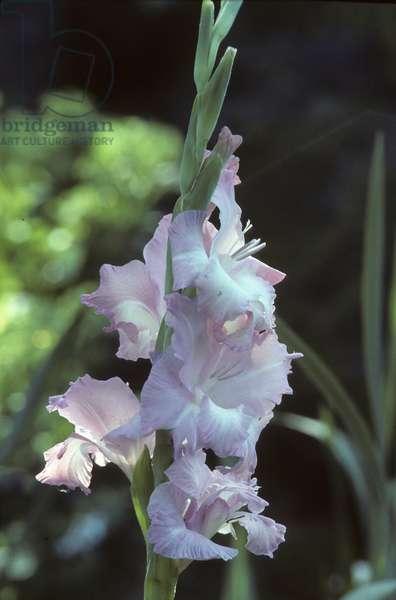 Gladiolus x/Glaieul