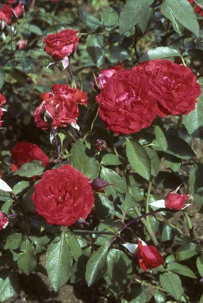 Rosa x/Rose 'City of Doue'