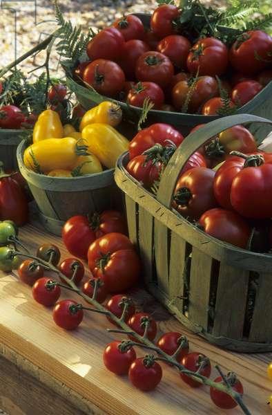 Lycopersicon esculentum/Tomato 'Marmande', 'Totem', 'Banana Legs' and Cherry Tomato