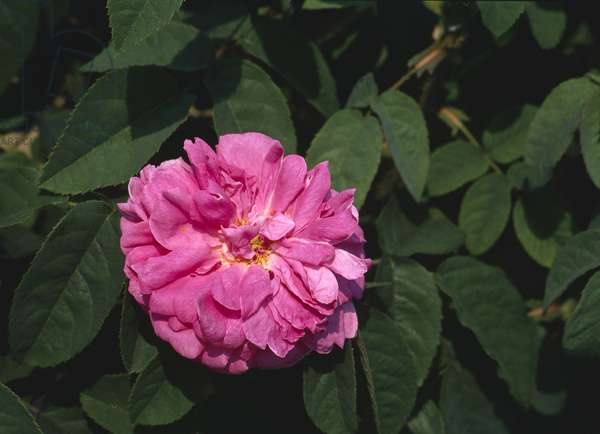 Rosa x/Rose 'Glory of the sparkling'/Rose 'Glory of the sparkling'/Rose 'Madame Alboni'