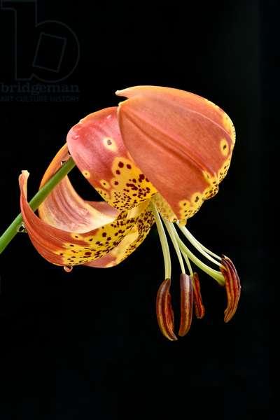 Lily 'fusion'/Lilium x pardalinum