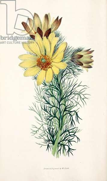 Botanical Illustration/Adonis vernalis/Spring Adonis